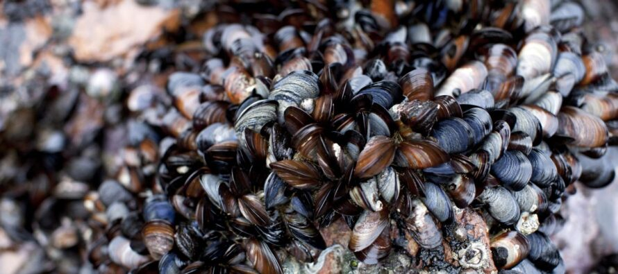 California: cozze che cuociono nel loro guscio
